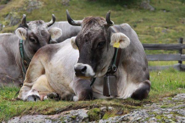 razze bovine da latte