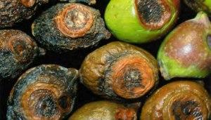 lebbra delle olive