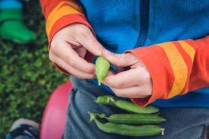 come coltivare i fagioli