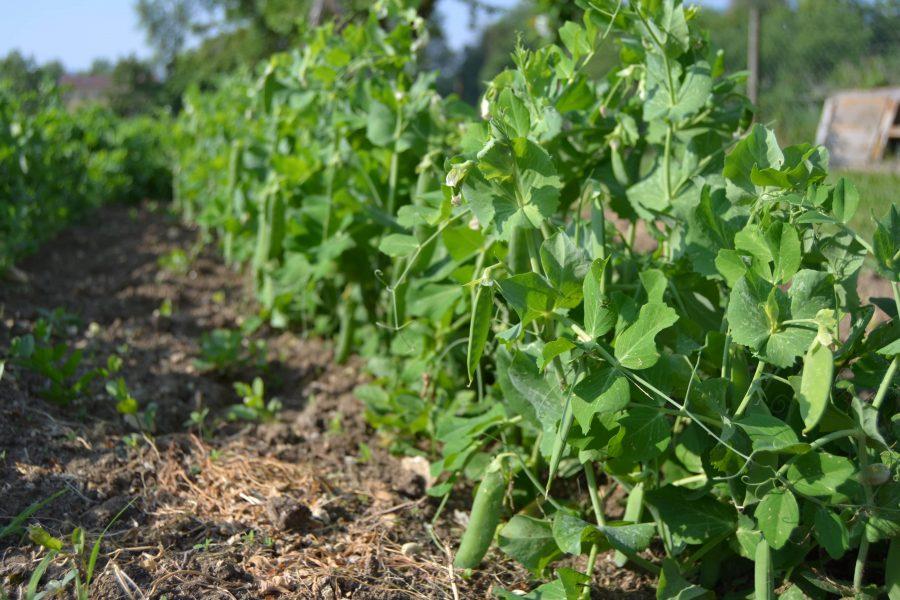 Semina piselli - Orto - Come e quando seminare i piselli