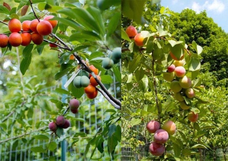 Albero dai 40 frutti Sam Van Aken raccolta frutti