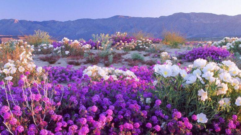 Cile deserto fiorito di Atacama ottobre 2015
