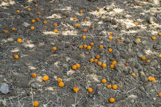 coltivazione e difesa dell'albicocco