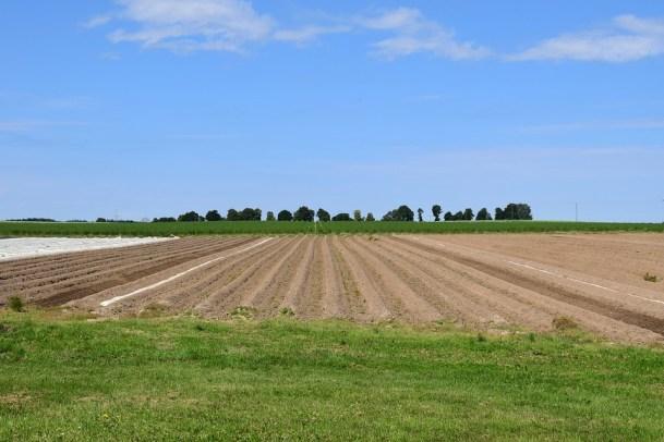 come coltivare gli asparagi