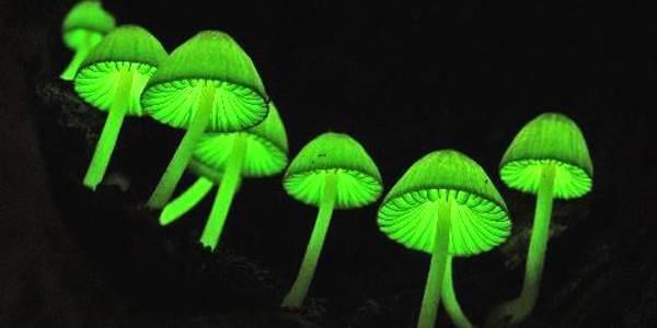 funghi bioluminescenti
