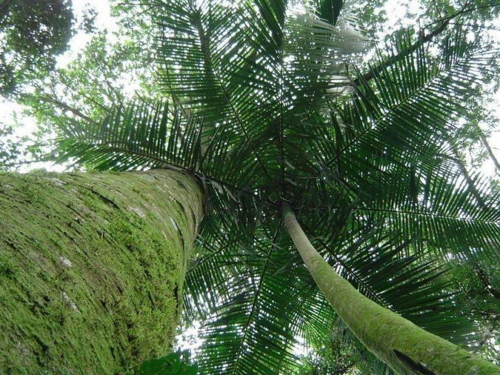 yacaratia l'albero dal legno commestibile