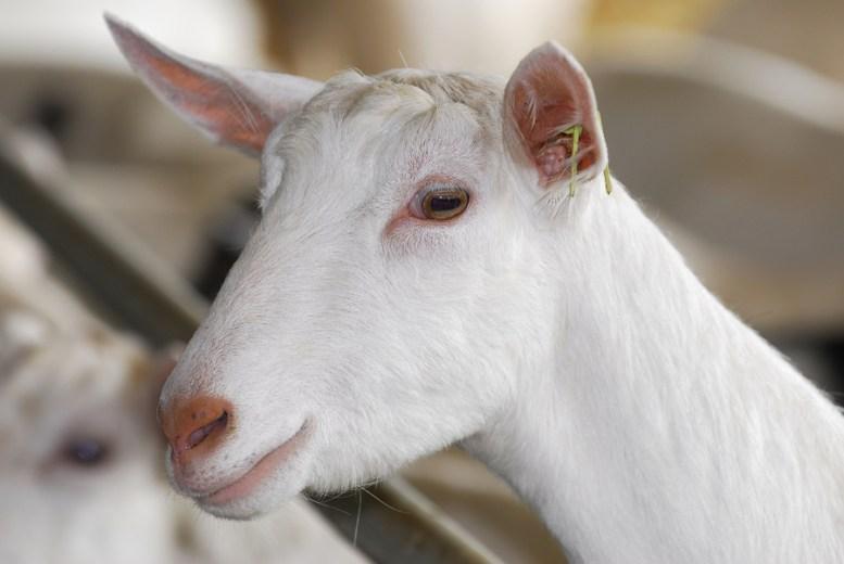 Capra Saanen quanto latte produce capra