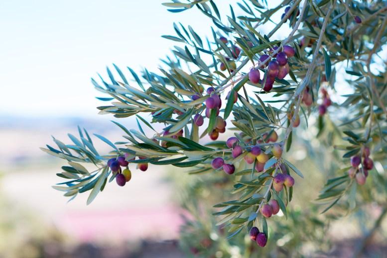 ramo di albero di olivo
