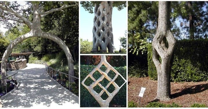 Arboscultura e Tree Shaping - il Tree Circus di Axel Erlandson