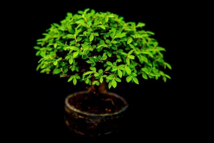 albero di bonsai