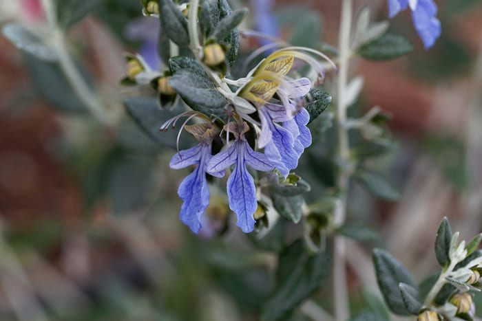 Fiore di Camedrio Femmina (Teucrium fruticans)