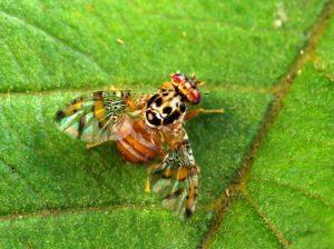 mosca della frutta parassiti del limone