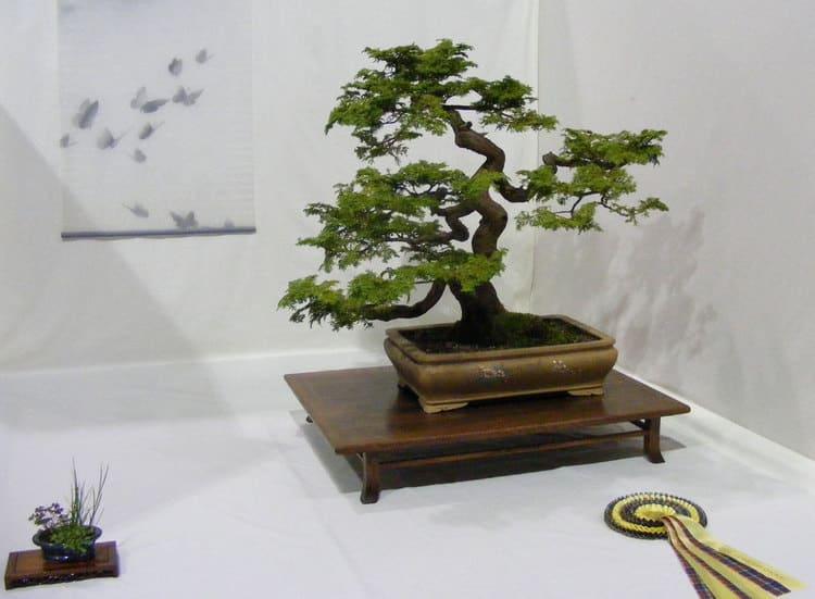 albero di bonsai in mostra