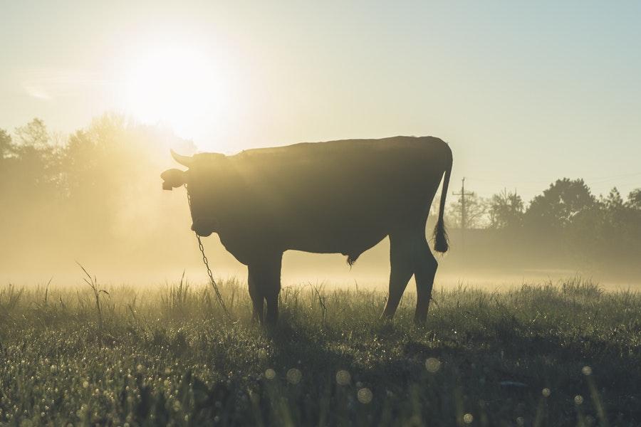 Agricoltore incornato da un toro