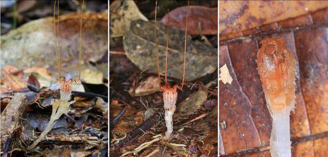 lanterna-delle-fate-odoardo-beccari-malesia