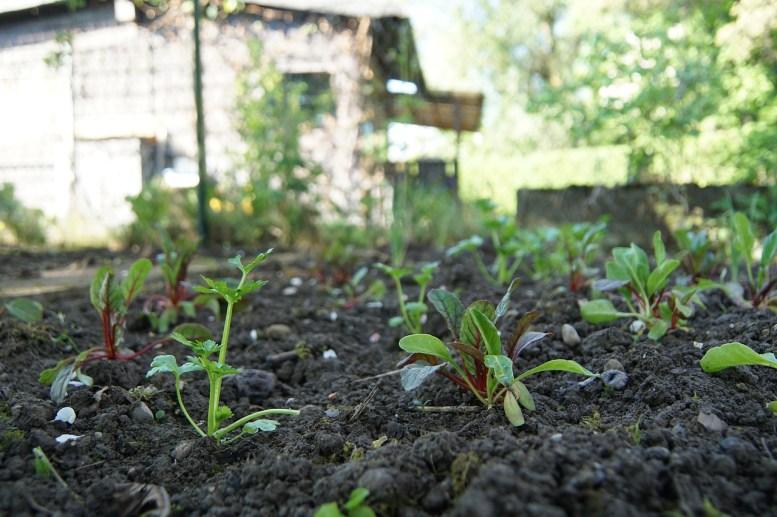 come coltivare la bietola