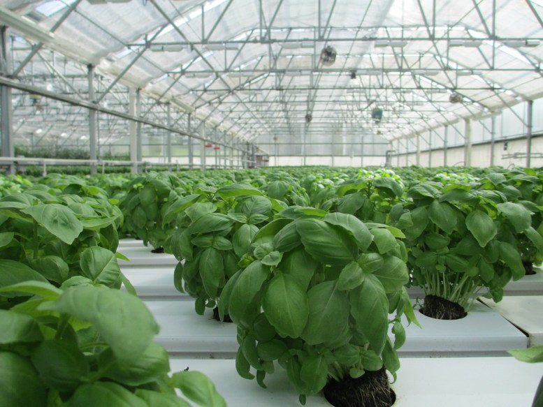 come coltivare il basilico
