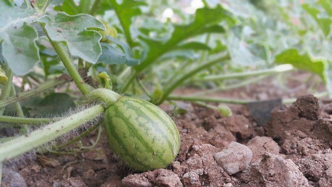 come coltivare il cocomero