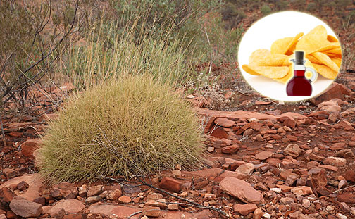 pianta spinifex sa di patatine al gusto sale e aceto