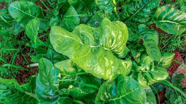 come coltivare gli spinaci