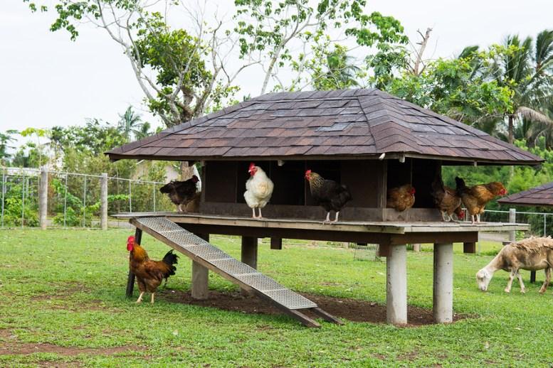 Come costruire un pollaio i 5 passi per realizzarlo al for Costruire un pollaio con i pallet
