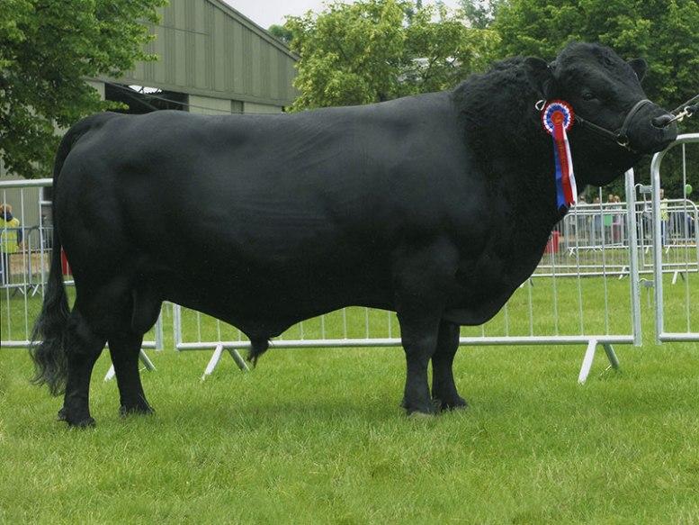 vacche irlandesi