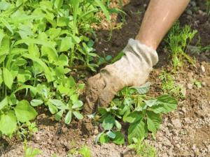 erbe infestanti orto