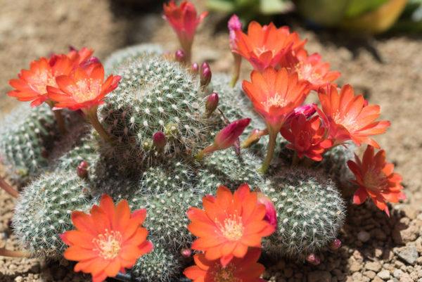 rebutia con fiori rossi
