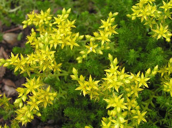 sedum acre con fiori gialli