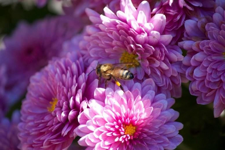 Ape a lavoro su un fiore
