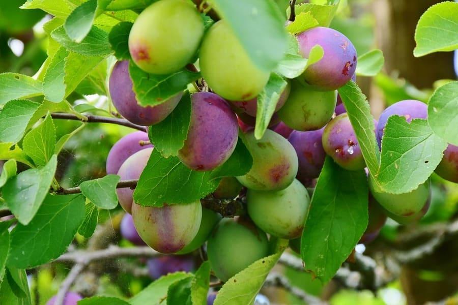 Innesti alberi da frutto i 5 innesti pi diffusi da rifare in giardino - Alberi da frutta in giardino ...