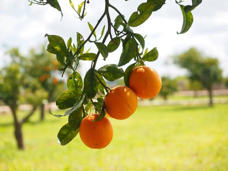 Come coltivare un albero di arancio