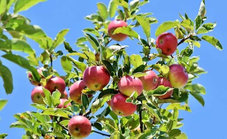 coltivare albero mele