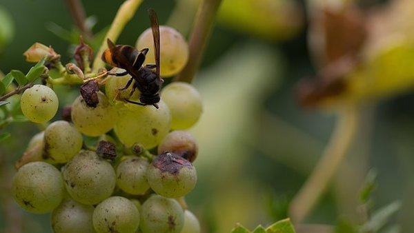 punture di vespe