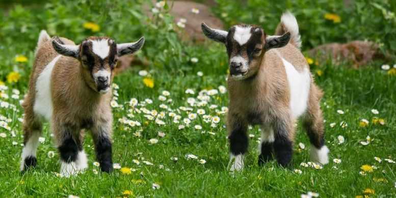 cosa mangiano le capre