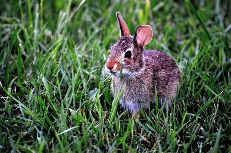 allevatori conigli