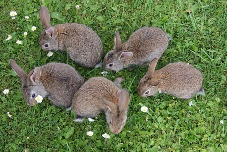 come allevare conigli