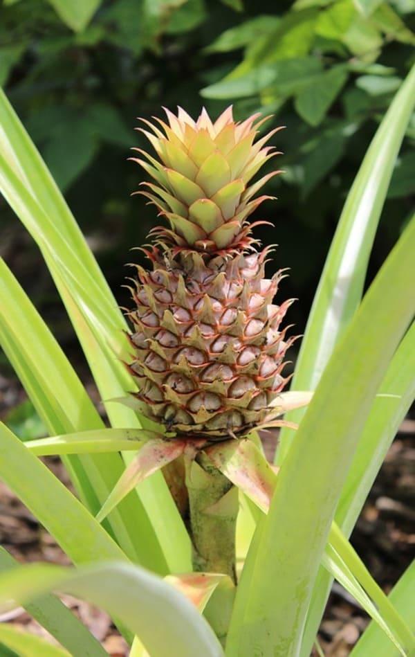fiore ananas