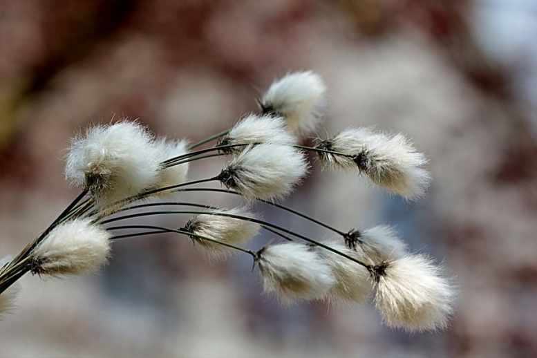 pianta di cotone