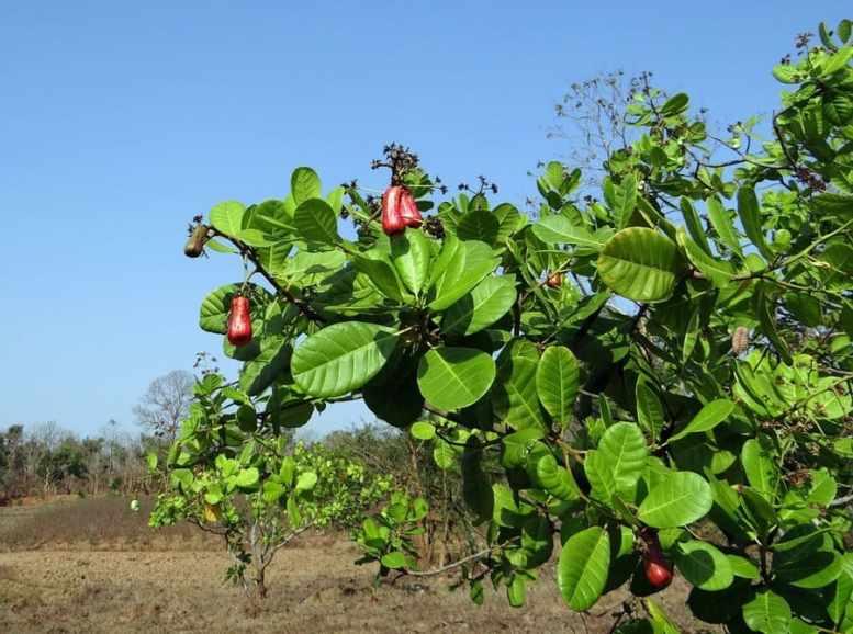 come coltivare anacardi