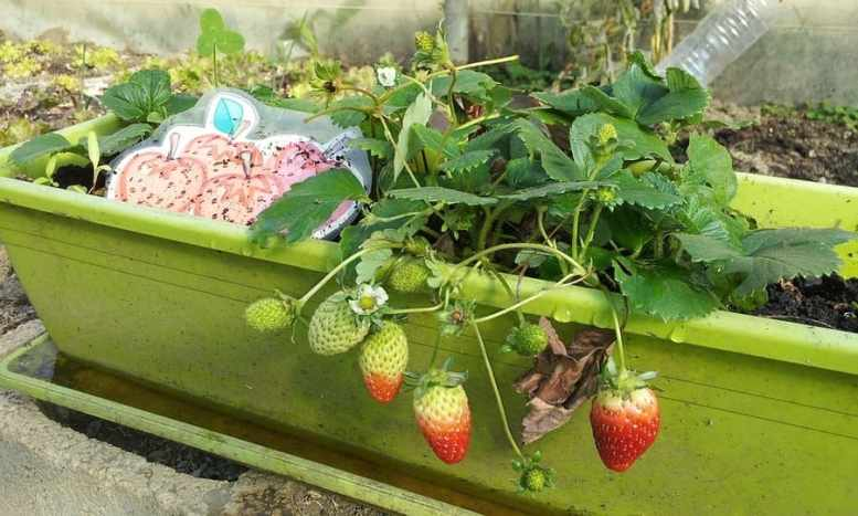 piante terrazzo frutta