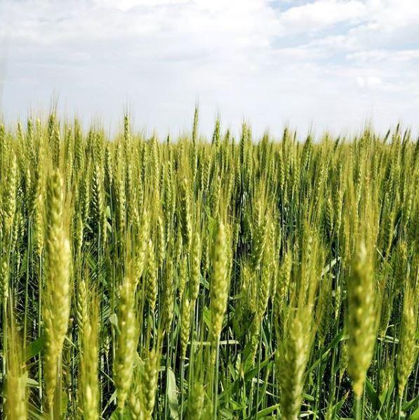 campo di grano coltivato in agricoltura intensiva