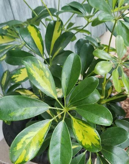 foglie di schefflera