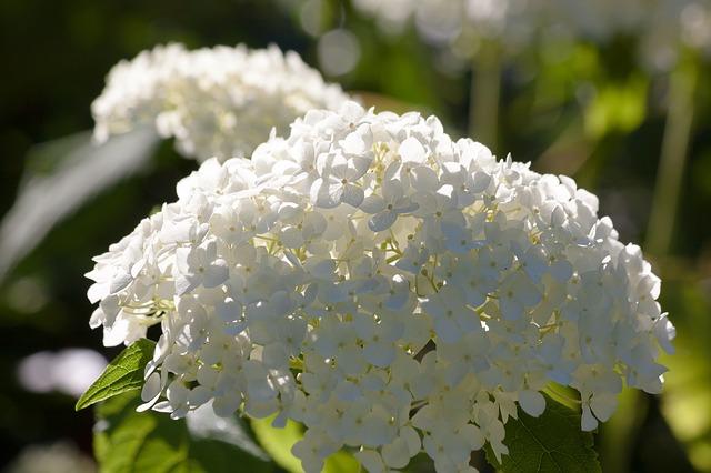 ortensie bianche fiorite