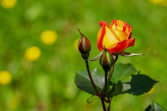 ruggine-delle-rose
