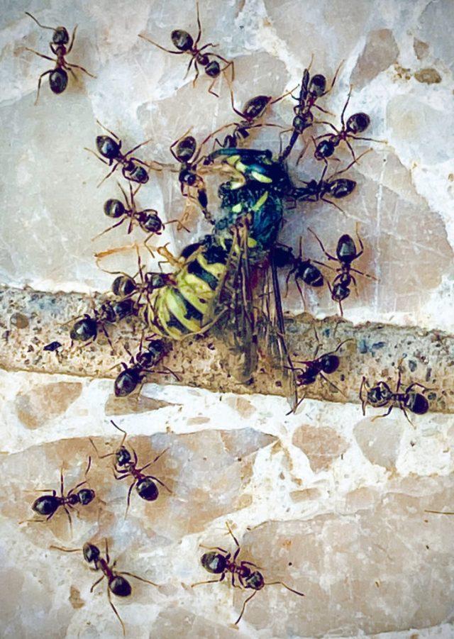 Ameisen und eine Wespe