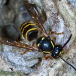 Wespe kommt aus Nest