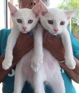 aug 9 white kittens (2014_08_09 23_30_45 UTC)