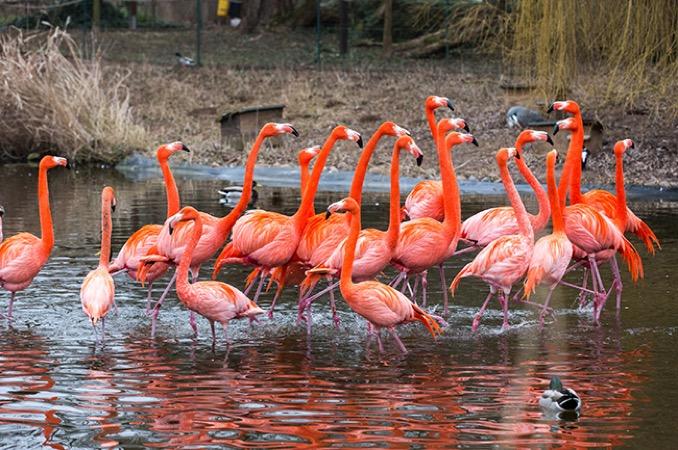 Flamingo ZooHD 2015 02 17 7444 kl