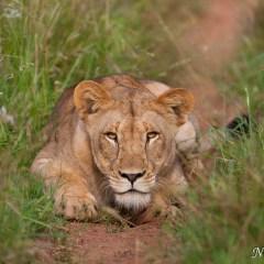Lioness (454F10255)